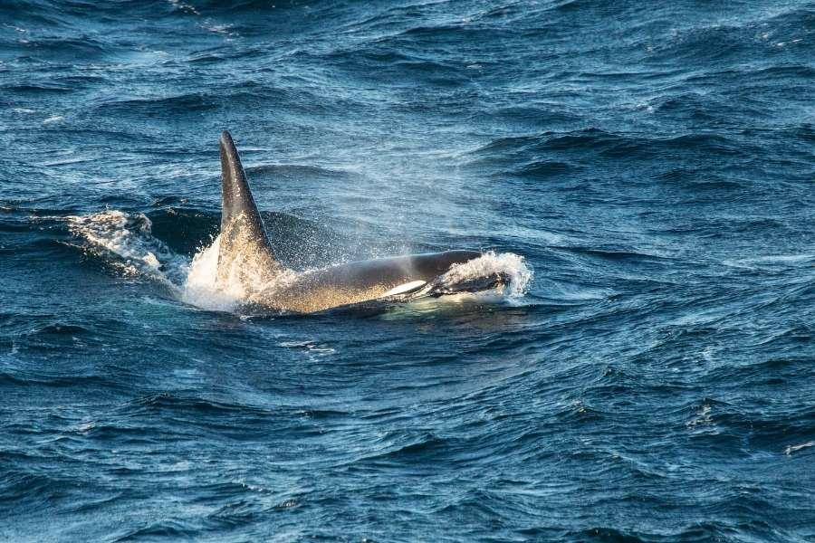 Las orcas atacan a los barcos en las costas de España